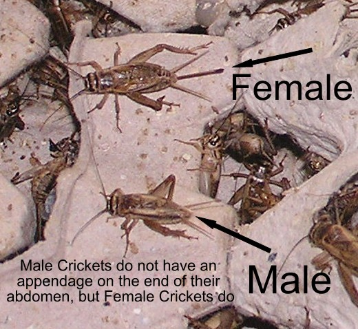 Image result for male crickets vs female crickets
